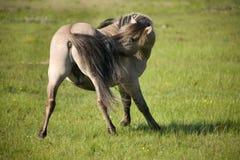 Garanhão selvagem Imagem de Stock
