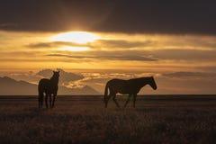 Garanhões do cavalo selvagem em um por do sol do deserto Foto de Stock Royalty Free