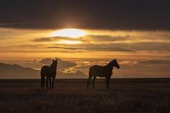 Garanhões do cavalo selvagem no deserto no por do sol Fotos de Stock Royalty Free