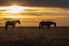 Garanhões do cavalo selvagem no por do sol no deserto Imagens de Stock