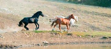 Garanhões do mustang do cavalo selvagem que correm e que lutam na escala do cavalo selvagem das montanhas de Pryor na beira de Wy Imagens de Stock Royalty Free