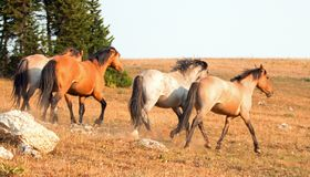 Garanhões do mustang do cavalo selvagem que correm e que lutam na escala do cavalo selvagem das montanhas de Pryor na beira de Wy Fotos de Stock Royalty Free