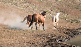 Garanhões do mustang do cavalo selvagem que correm e que lutam na escala do cavalo selvagem das montanhas de Pryor na beira de Wy Foto de Stock Royalty Free