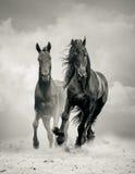Garanhões pretos Fotografia de Stock