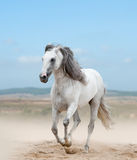 Garanhão andaluz branco Foto de Stock