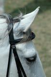 Garanhão branco. Fotografia de Stock