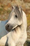 Garanhão branco lindo do pônei da montanha de galês Imagens de Stock