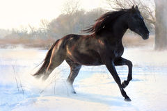 Garanhão preto Imagens de Stock