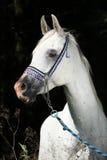 Garanhão árabe agradável com cabeçada da mostra Fotografia de Stock Royalty Free