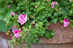 Garanium kwiat obrazy stock