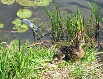 Duck with ducklings, trash floating in the water. Garbage and plastic duck with ducklings, trash floating in the water stock photo