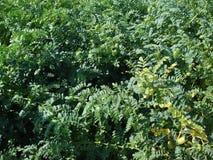 Garbanzo - plantación Imagen de archivo libre de regalías