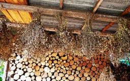 Garbanzo secado de las plantas Foto de archivo