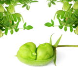 Garbanzos verdes en vaina con la planta en fondo blanco puro Fotografía de archivo