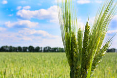 Garbe Weizen auf Hintergrund des blauen Himmels Lizenzfreies Stockfoto
