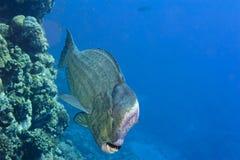 Garbek dźwigarki ryba kierowniczy zakończenie w górę portreta w rafowym tle obraz stock