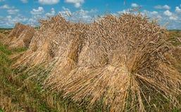 Garben Weizen Stockbilder