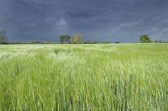 Garben Weizen Stockbild