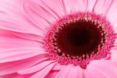 Garber daisy close up Royalty Free Stock Images