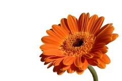 Garber orange Image libre de droits