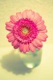 Garbera Стоковая Фотография