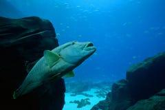 Garbu Wrasse Kierowniczy pływać oddolny Fotografia Royalty Free