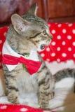 Garbuglio a strisce del gatto Fotografia Stock Libera da Diritti