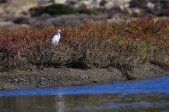 Garceta blanca en la playa en California Foto de archivo