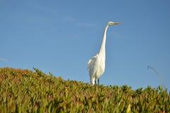 Garceta blanca en una colina de la playa Imagen de archivo libre de regalías