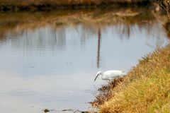 Garceta blanca que busca para la comida en un río imagenes de archivo