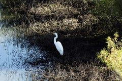 Garceta blanca que se coloca en el borde de la charca Foto de archivo libre de regalías