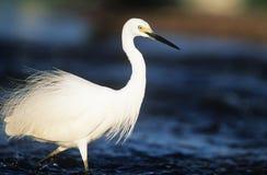 Garceta blanca que vadea en agua Fotografía de archivo libre de regalías