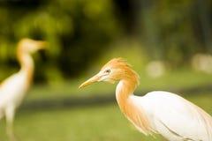 Garceta blanca salvaje de la India del norte en el parque Foto de archivo