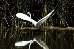 Garceta blanca un borde de las alas de la charca separadas para el vuelo Foto de archivo libre de regalías