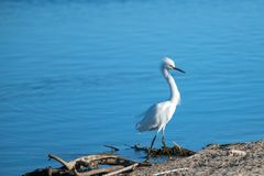 Garceta blanca Windblown en el estuario del río Santa Clara en Ventura California los E.E.U.U. imagenes de archivo