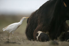 Garceta de ganado, Bubulcus Ibis fotografía de archivo