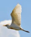 Garceta de ganado en vuelo Fotografía de archivo libre de regalías