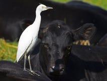 Garceta de ganado juvenil Imagen de archivo