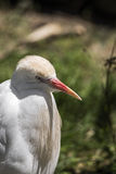 Garceta de ganado, pájaro Imagen de archivo libre de regalías