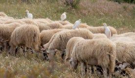 Garceta de ganado y x28; Ibis& x29 del Bubulcus; encaramado en la parte de atrás de una oveja fotos de archivo