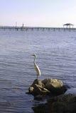 Garceta del blanco de la Florida Fotos de archivo