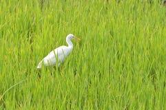 Garceta en el campo de arroz fotos de archivo libres de regalías