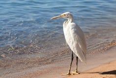 Garceta en la playa Fotografía de archivo libre de regalías