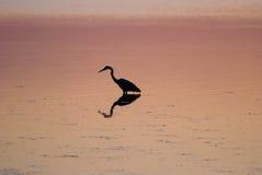 Garceta en sonido en la puesta del sol cerca de Currituck, Outer Banks, Carolina del Norte Imágenes de archivo libres de regalías
