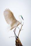 Garceta mediana que exhibe las alas majestuosas Foto de archivo libre de regalías
