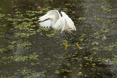 Garceta nevada con las alas extendidas en los marismas de la Florida Fotos de archivo libres de regalías