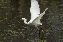 Garceta nevada con las alas extendidas en los marismas de la Florida Imagen de archivo libre de regalías