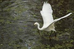 Garceta nevada con las alas extendidas en los marismas de la Florida Fotografía de archivo libre de regalías