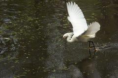 Garceta nevada con las alas extendidas en los marismas de la Florida Imagenes de archivo