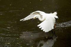 Garceta nevada que arrastra sus pies mientras que vuela en el ` s Everglad de la Florida Imagen de archivo libre de regalías